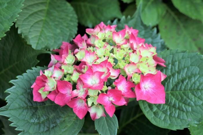 紫陽花を撮って_d0150720_17083270.jpg