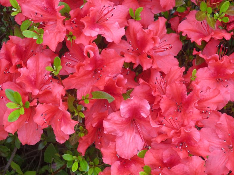 """■ご近所の """"日曜日の花たち""""、 そして週替わりの夕暮れ[6/7]_d0190217_22121856.jpg"""