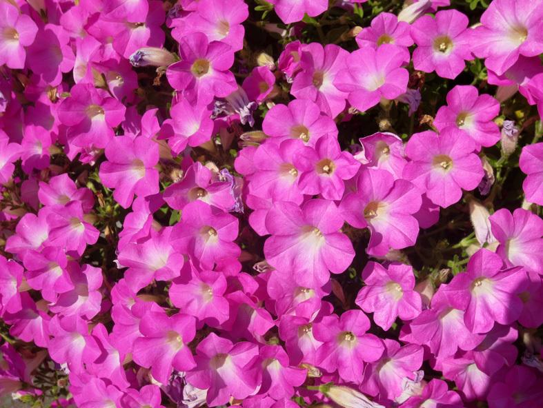 """■ご近所の """"日曜日の花たち""""、 そして週替わりの夕暮れ[6/7]_d0190217_22123514.jpg"""