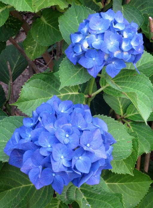 """■ご近所の """"日曜日の花たち""""、 そして週替わりの夕暮れ[6/7]_d0190217_23142294.jpg"""