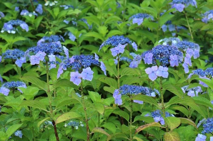 紫陽花を撮って_d0150720_10181453.jpg