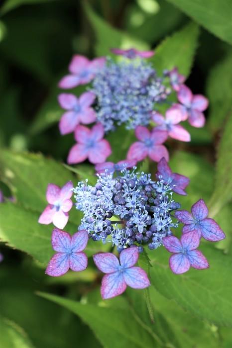紫陽花を撮って_d0150720_10223394.jpg
