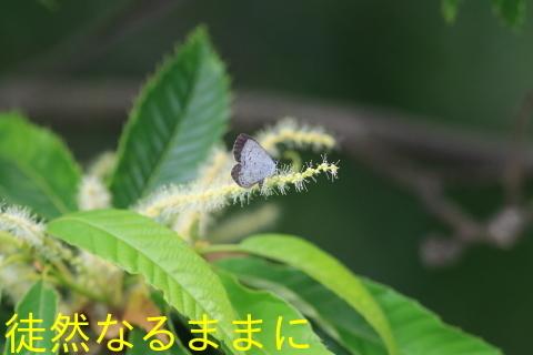 ヤクシマルリシジミ_d0285540_06025798.jpg