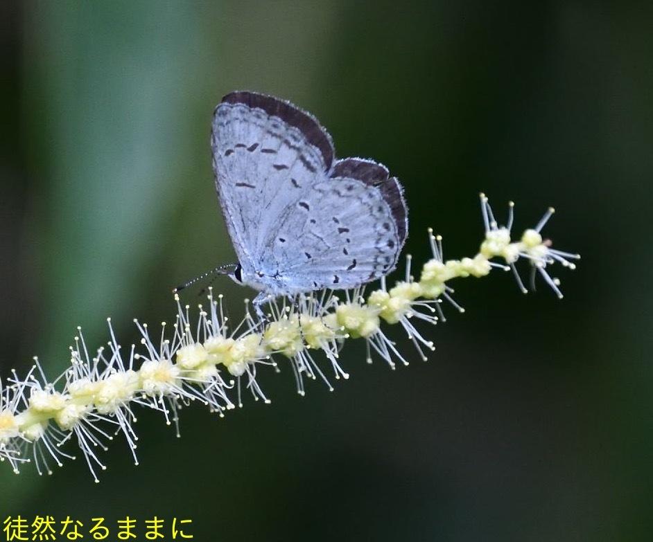 ヤクシマルリシジミ_d0285540_19490785.jpg