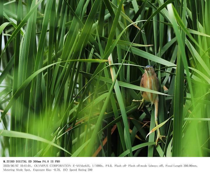 印旛沼北部調整池 2020.6.7(2)_c0062451_17540174.jpg