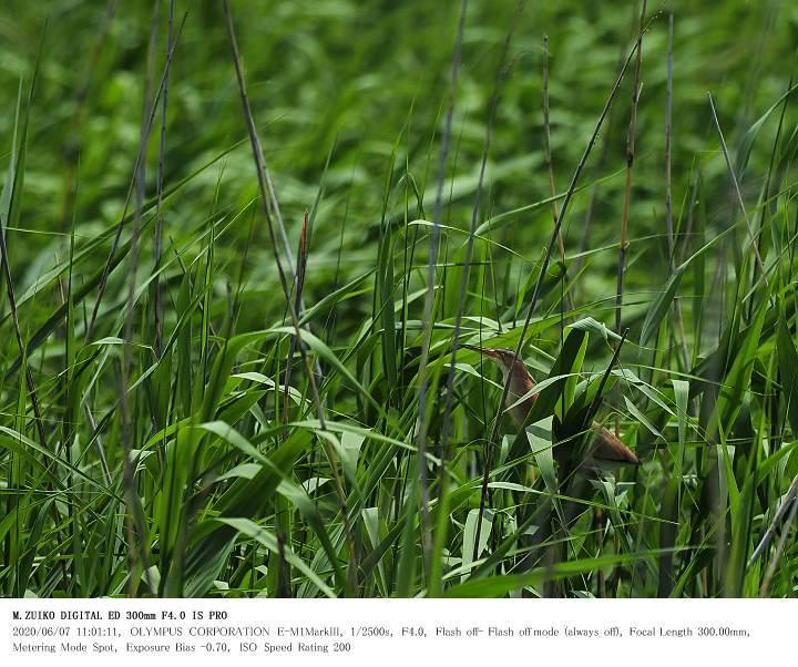 印旛沼北部調整池 2020.6.7(2)_c0062451_17540209.jpg
