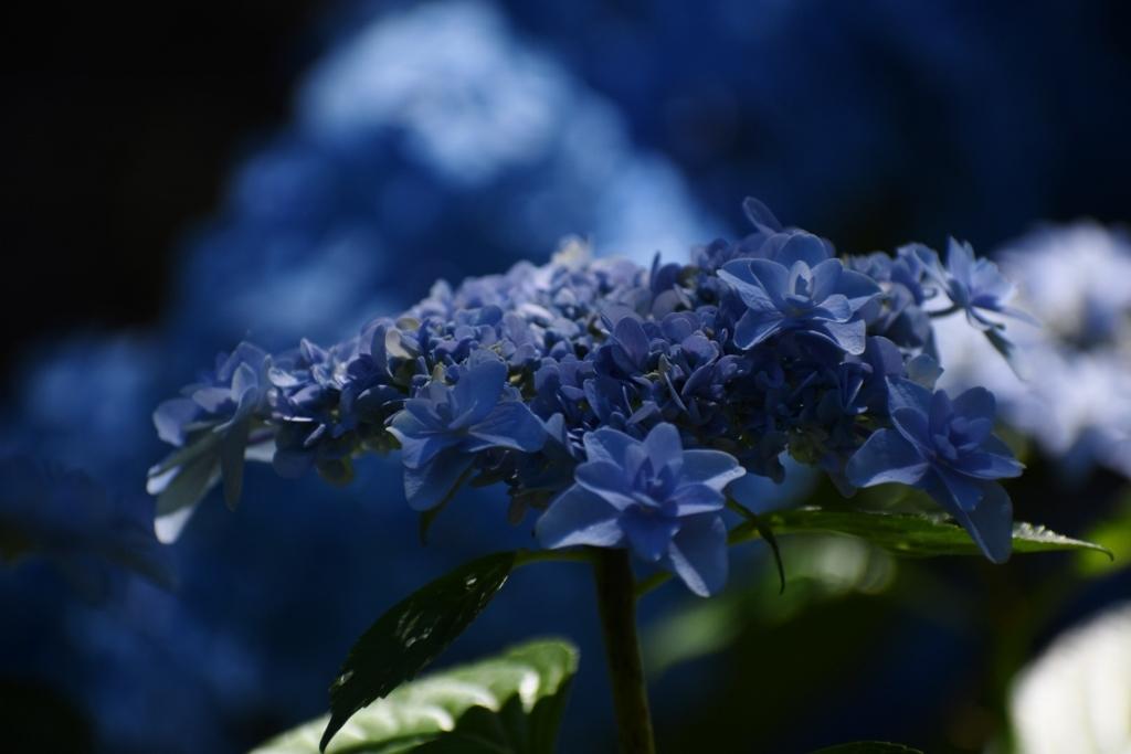 紫陽花_a0355356_23255327.jpg