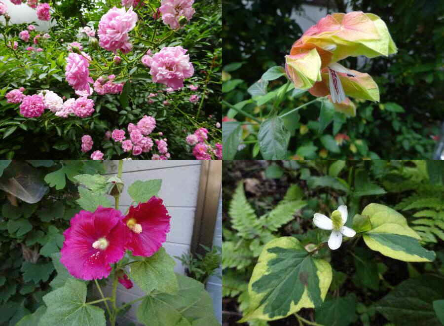 庭の花 夏その1_f0059673_17230534.jpg