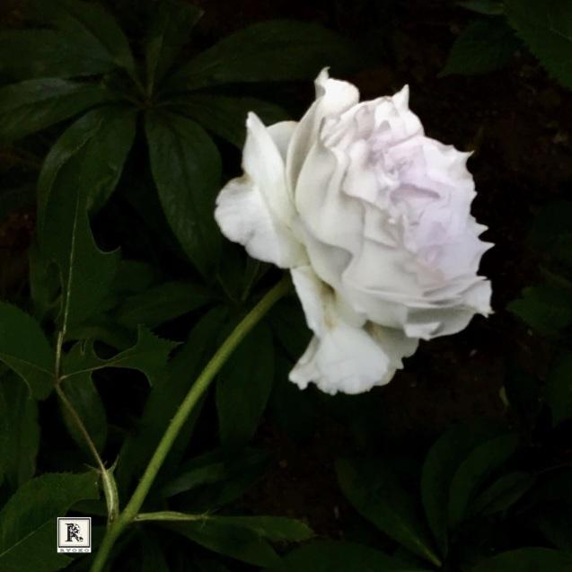 今年もバラのガブリエルが咲き、いい香りです。_c0128489_15234430.jpeg