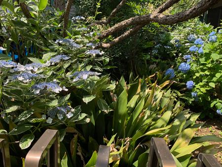 6月の庭  2020 - 2_f0239100_11342434.jpg