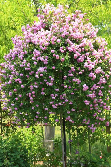 中之条ガーデンズ2020 #1 シンボルツリーのローズガーデン _a0357206_20313093.jpg