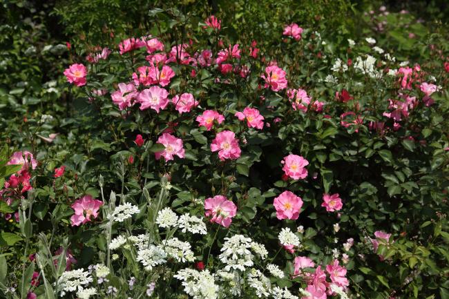 中之条ガーデンズ2020 #1 シンボルツリーのローズガーデン _a0357206_20314943.jpg