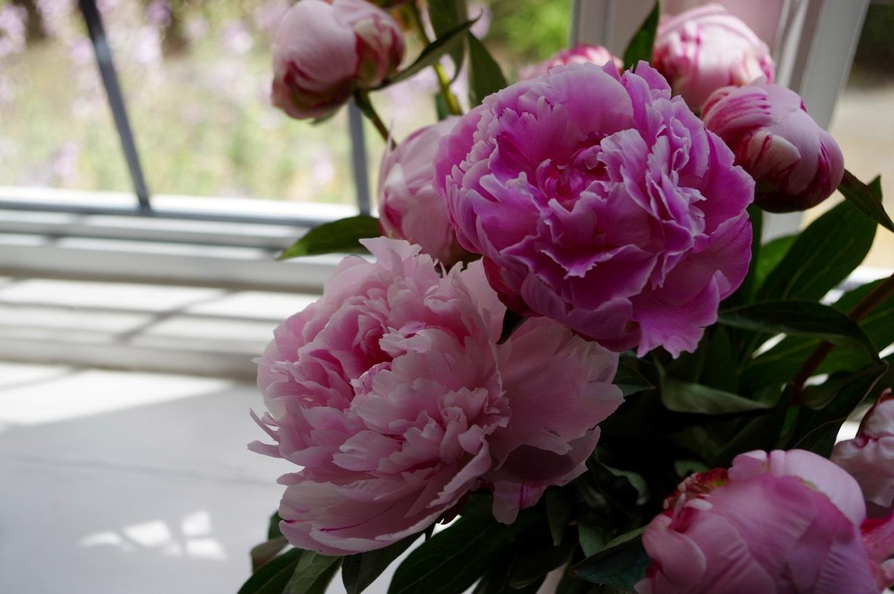 心にしみる芍薬の花_e0114020_19351468.jpg
