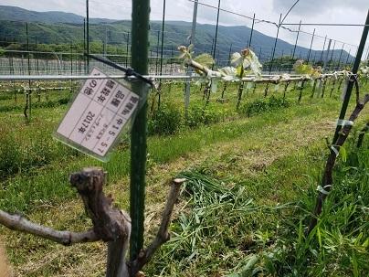 かわうちワイン・高田島ヴィンヤード_d0003224_09290564.jpg