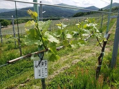 かわうちワイン・高田島ヴィンヤード_d0003224_09292015.jpg