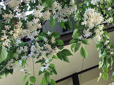 エゴの花満開_f0019247_20203082.jpg