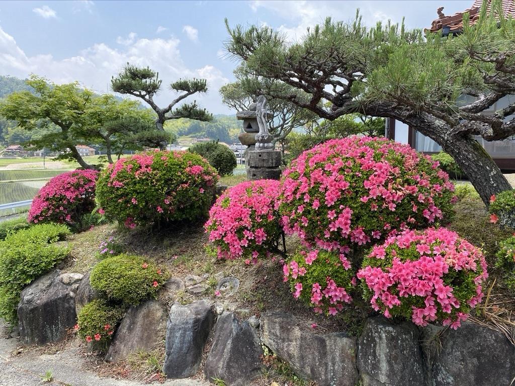 テーブルのスモークツリーと庭のサツキ_c0334574_20091873.jpeg
