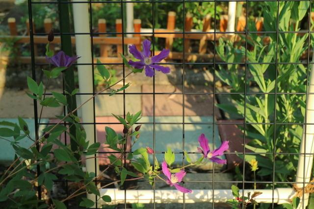 バラを一休みして宿根草をお届けします~♪_e0397815_23140668.jpg