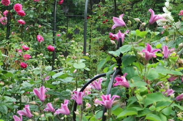 バラを一休みして宿根草をお届けします~♪_e0397815_23152839.jpg