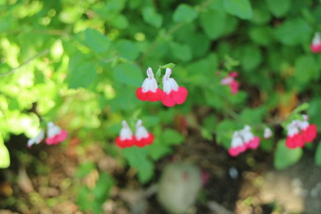 バラを一休みして宿根草をお届けします~♪_e0397815_23595686.jpg