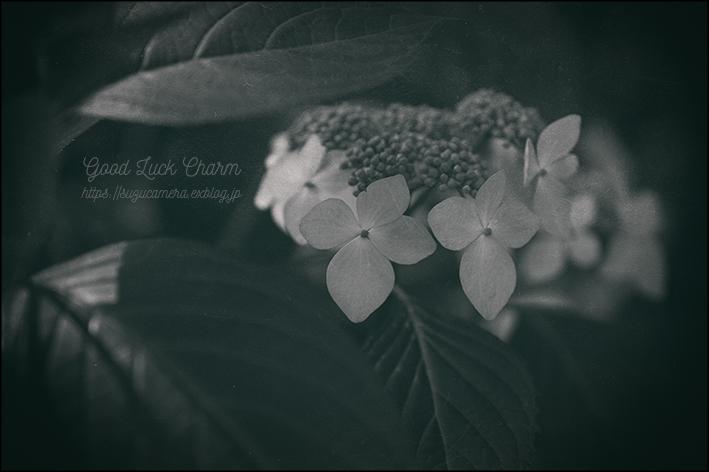 紫陽花のおまじない_f0100215_20234587.jpg