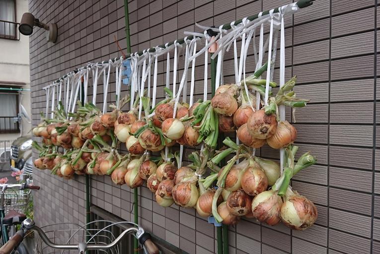 玉ねぎは苗で決まり_b0088521_13421744.jpg