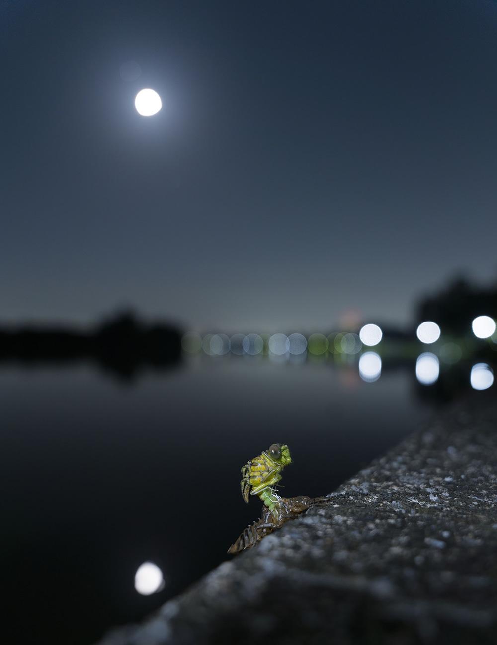 ウチワヤンマ 羽化-3 満月の翌日_f0324026_06350317.jpg