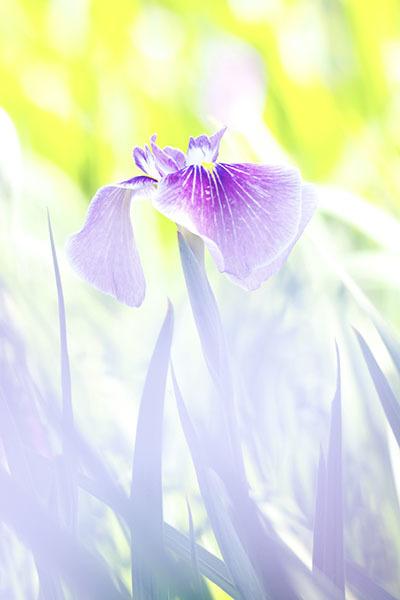 花菖蒲は今が見ごろ_e0022047_22395134.jpg