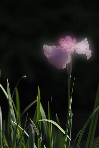 花菖蒲は今が見ごろ_e0022047_22401628.jpg