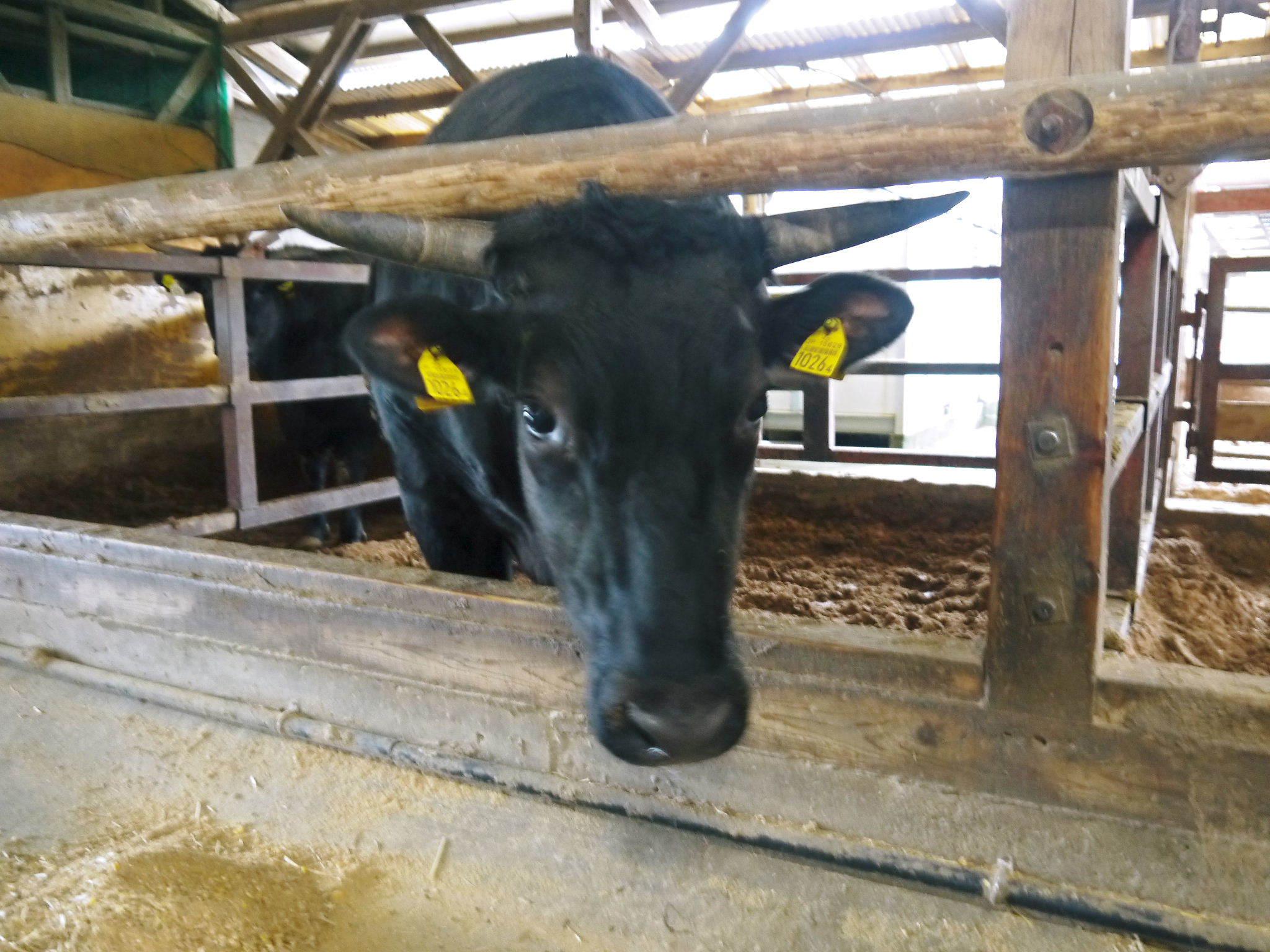 熊本県産黒毛和牛100%のハンバーグステーキをまもなく販売スタート!牧草も自ら育てるこだわり!_a0254656_19554159.jpg