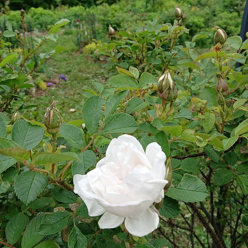 高原のルゴサ YOさんの八ヶ岳のお庭から_a0094959_11525338.jpg