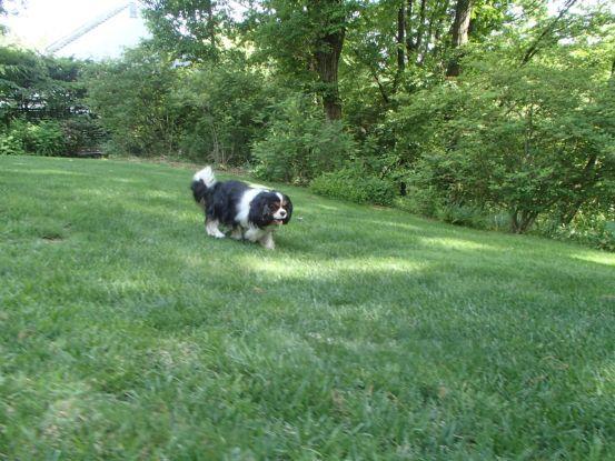 3代目のキャバリアは元保護犬。_f0064906_15564769.jpg