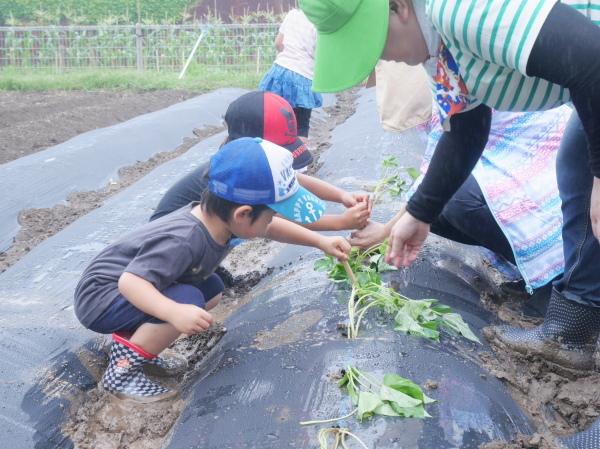 芋の苗植え_a0266514_13051822.jpg