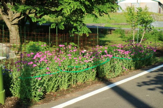 バラを一休みして宿根草をお届けします~♪_e0397815_00064244.jpg