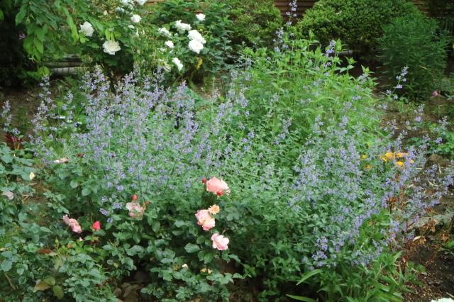 バラを一休みして宿根草をお届けします~♪_e0397815_00083035.jpg