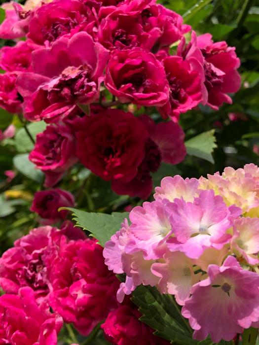 紫陽花とあの彼女そして_d0105967_00343897.jpg