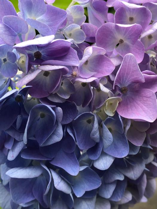 紫陽花とあの彼女そして_d0105967_00363590.jpg