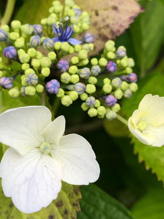 紫陽花とあの彼女そして_d0105967_00370945.jpg