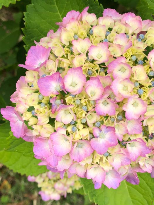 紫陽花とあの彼女そして_d0105967_00411675.jpg
