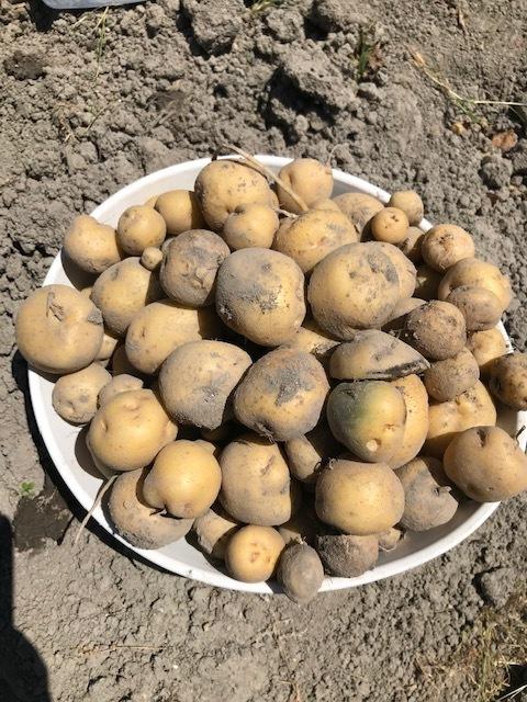 ジャガイモ掘り_f0204295_14095315.jpg