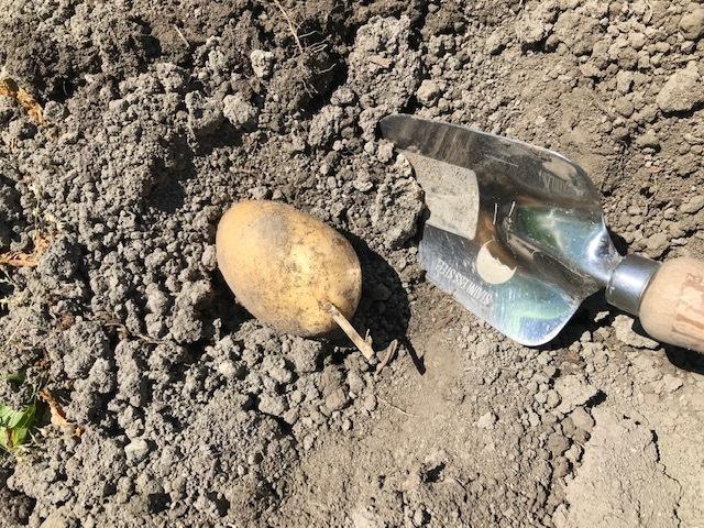 ジャガイモ掘り_f0204295_14101761.jpg