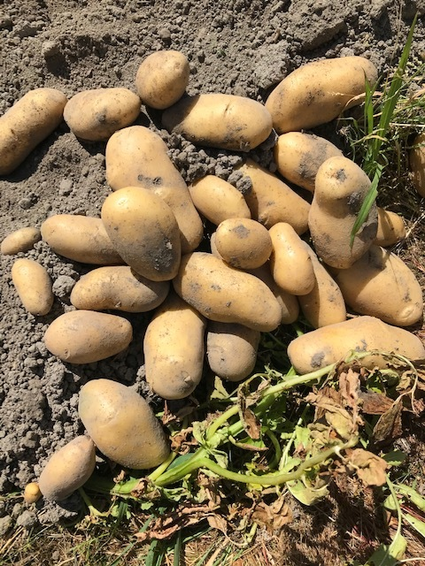 ジャガイモ掘り_f0204295_14102949.jpg