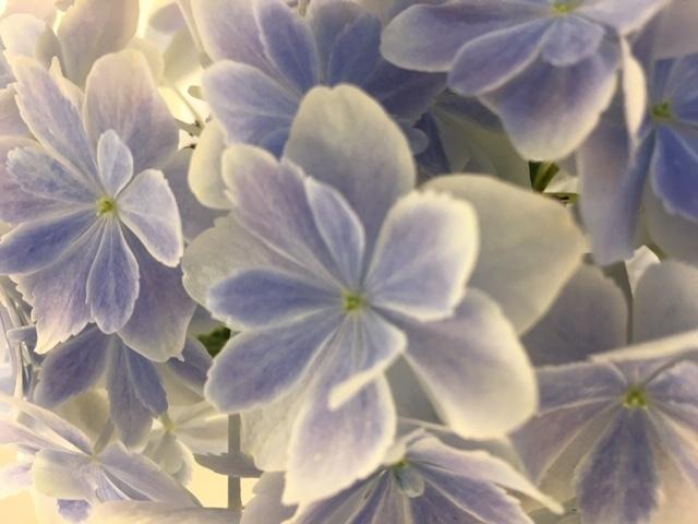 紫陽花  /  koba_d0135801_17400818.jpeg