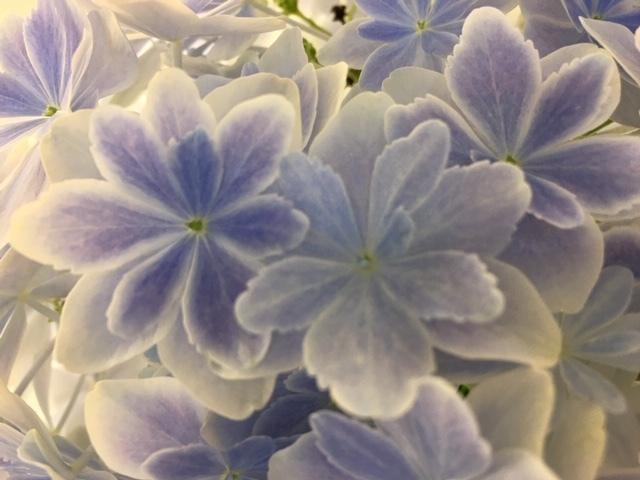 紫陽花  /  koba_d0135801_17401888.jpeg