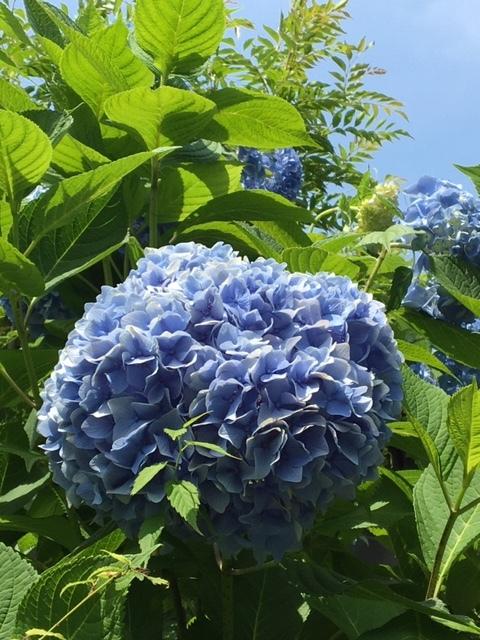 紫陽花  /  koba_d0135801_17402131.jpeg