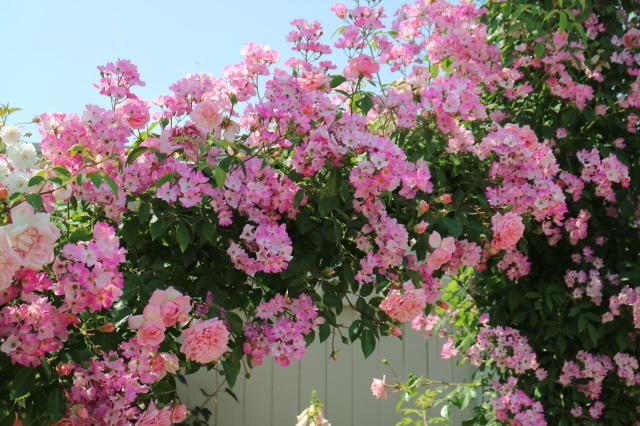 満開の中之条ガーデンズへ~♪_e0397815_16580058.jpg