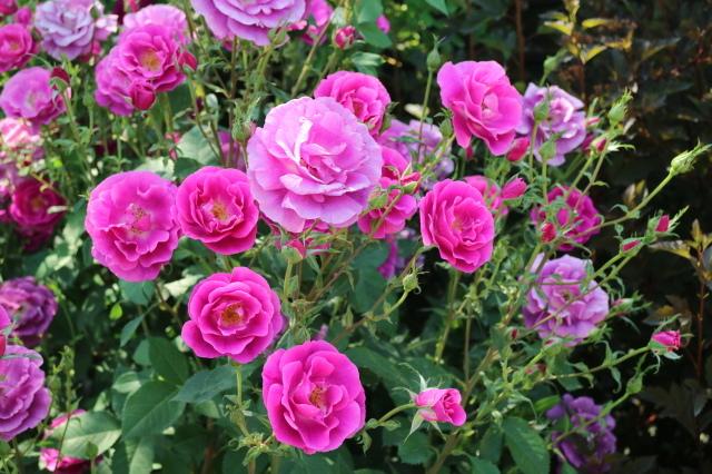 満開の中之条ガーデンズへ~♪_e0397815_17073677.jpg