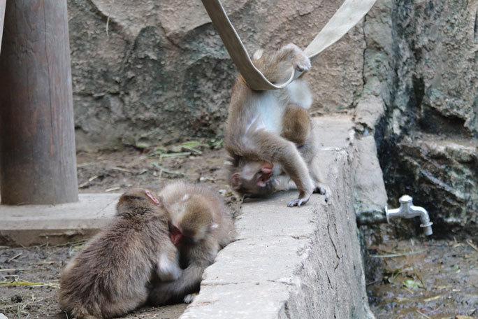 多摩動物公園サマーナイト2019①~ニンジン大好き!ツキノワグマ「ソウ」、ニホンザルの子供たち_b0355317_21322424.jpg