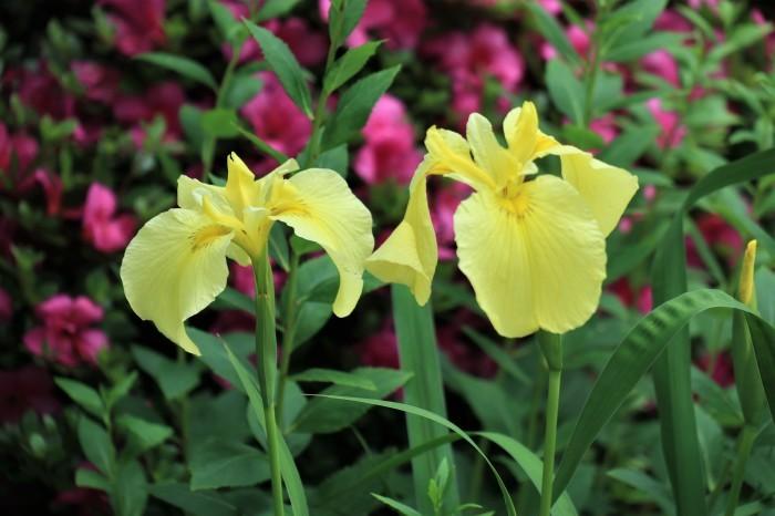 6月の庭花 _d0150720_11213380.jpg
