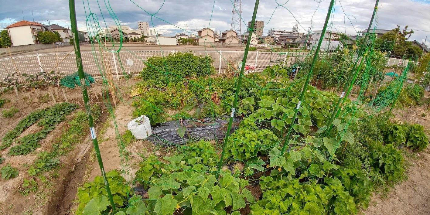 2020年6月 家庭菜園_b0211330_23562032.jpg